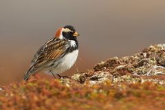 Lapland Bunting Stock Photos