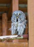 Lapland (Great Gray) Owl. Aka Strix Nebulosa stock image