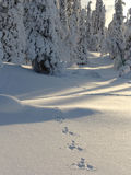 Lapland. Hare tracks. Snow-covered trees in Lapland at the end of the polar winter and Bunny footprints in the snow royalty free stock photo
