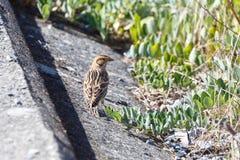 Lapland Longspur bird royalty free stock photos