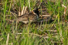 Lapland Longspur. Male Lapland Longspur standing in the short grass in the late afternoon sun. Ashbridges Bay Park, Toronto, Ontario, Canada Royalty Free Stock Photography