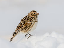 Lapland Longspur Royalty Free Stock Photo