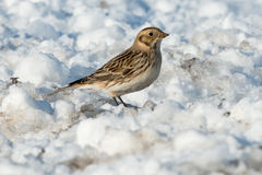 Lapland Longspur Stock Photography