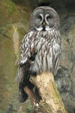 Lapland owl Stock Image
