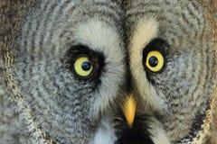Lapland owl Royalty Free Stock Image