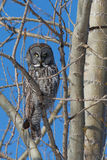 Lapland owl Royalty Free Stock Photography