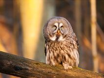Lapland owl in forest on the branch - Strix nebulosa. Great grey owl in forest on the branch - Strix nebulosa royalty free stock photos
