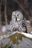 Lapland Owl lat. Strix nebulosa Royalty Free Stock Photography