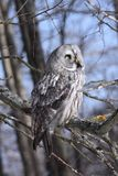 Lapland Owl lat. Strix nebulosa in a tree Royalty Free Stock Photography