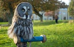Lapland Owl royalty free stock photo