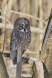 Lapland owl in winter Royalty Free Stock Photography