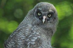 lapland owlet Arkivbilder