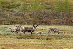 Lapland reindeer. Royalty Free Stock Photography