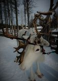 Beautiful reindeer in Finnish lapland. In Lapland reindeer husbandry is an important livelihood. Reindeer are semi wild animals. They are an icon for Lapland and stock photography