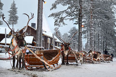 Lapland reindeer Stock Photo