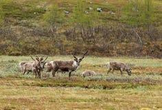 Lapland renifer Fotografia Royalty Free