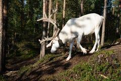 Lapland renifer Obraz Royalty Free