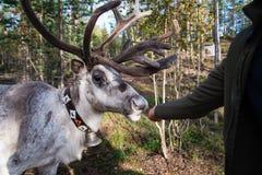 Lapland renifer Zdjęcie Stock