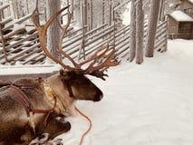Lapland renifer zdjęcia royalty free