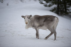 Lapland reniferowy portret w zima śniegu czasie Fotografia Royalty Free