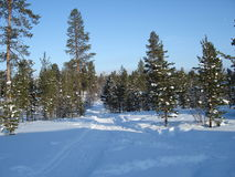 lapland sörjer trees Royaltyfria Bilder