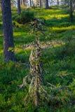 Lapland spruce Royalty Free Stock Photo