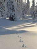 Lapland. Trilhas da lebre Foto de Stock Royalty Free