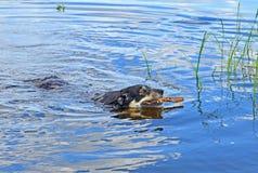 Lapoński poganiacz bydła Lapinporokoira, lapończyka renifera pies lub Lapsk Vallhund dopłynięcie z kijem w błękitnym jeziorze Zdjęcie Stock