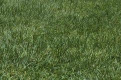 Lapp av grovt grönt gräs Royaltyfri Fotografi