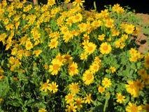 Lapp av vildblommor Purpurfärgad Prarrie Verbena, gul Sneezeweed & fjäril Gaura royaltyfri bild