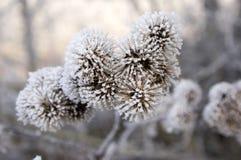 Lappa Arctium που καλύπτεται με την πάχνη, παγωμένη χειμερινή ημέρα Στοκ Εικόνες