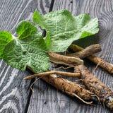 Lappa del Arctium de la bardana de la planta medicinal en un backgro de madera oscuro imagen de archivo
