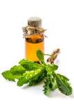 Lappa del Arctium de la bardana de la planta medicinal en un fondo blanco imágenes de archivo libres de regalías