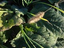Lappa del Arctium de la bardana de la planta medicinal Hojas y raíz en un fondo de madera oscuro fotos de archivo
