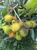 Lappaceum ou ramboutan de Nephelium Photo stock
