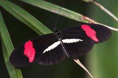 lappad longwing för fjärilscrimson royaltyfria foton
