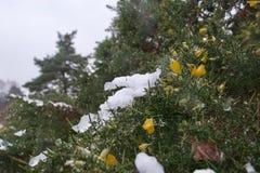 Lappar av iskall snö bredvid gula blommor på en ärttörnebuske royaltyfria bilder