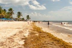 Lappar av Sargassum havsväxt på Playa Paraiso royaltyfri foto