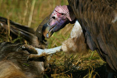 Lapped faced vulture Stock Image