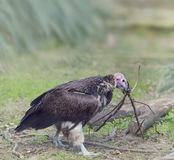 Lapped Faced Vulture Stock Images