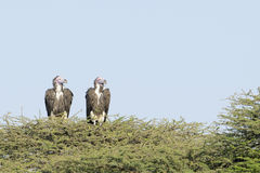 Lapped faced vulture (Torgos tracheliotus) Royalty Free Stock Photos