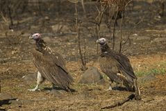 Lapped-faced vultures Royalty Free Stock Photos