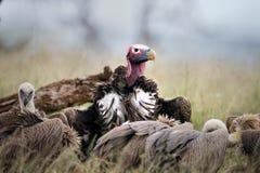 Lappet смотрел на хищника в Южной Африке стоковая фотография
