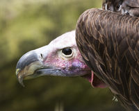Lappet Face. D vulture on his perch Royalty Free Stock Image