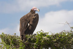 Lappet-faced Vulture. Royalty Free Stock Image
