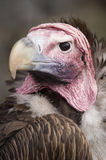Lappet Faced Vulture. Headshot of Lappet Faced Vulture (torgos tracheliotus) looking at viewer Royalty Free Stock Image