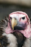 Lappet Faced Vulture. Headshot of Lappet Faced Vulture (torgos tracheliotus) looking at viewer Royalty Free Stock Photography