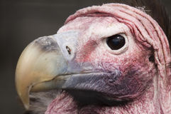 Lappet Faced Vulture Royalty Free Stock Images