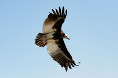 Lappet-faced vulture. Flying against blue sky Stock Photos