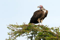 Lappet-faced vulture. In tree Royalty Free Stock Image